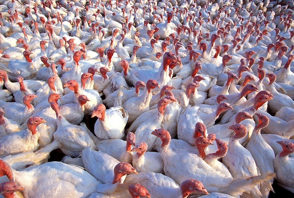 Nehéz helyzetbe került a pulykaszektor a madárinfluenza miatt Magyarországon