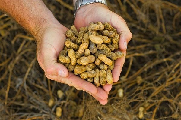 Nagy pénz van a földimogyoróban, megéri itthon is termeszteni