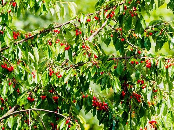 Nem csak az olajfák, minden gyümölcsfa veszélyben van az új vírus miatt