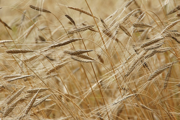 Az orosz gabona ellehetetleníti a többi ország gazdálkodóit