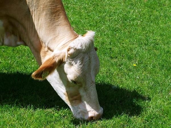 Március közepétől újra szállíthatunk marhát a törököknek