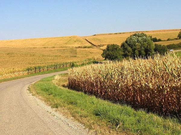 Egyre több kukoricára van igény a határainkon belül