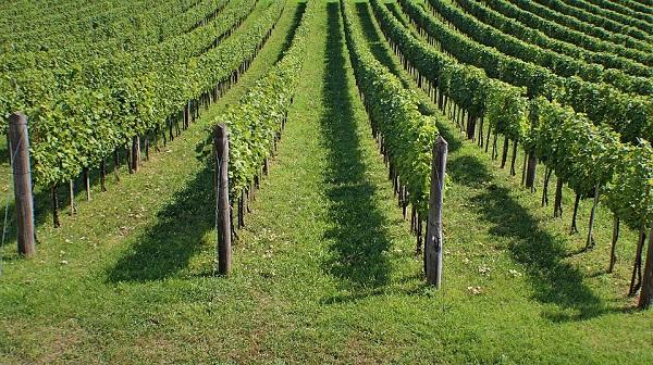 Itt az idő, most lehet támogatás segítségével szőlőt telepíteni