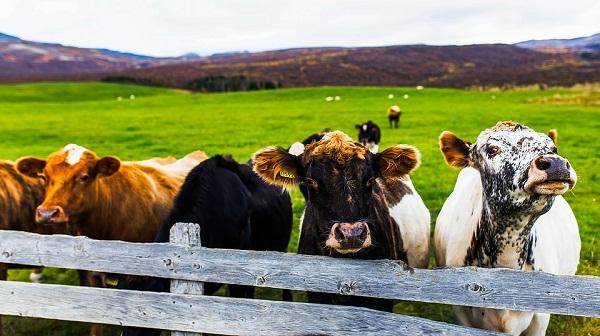 Nem mindig a tehén a hibás, ha nem jön össze a vemhesülés (A fotó illusztráció!)