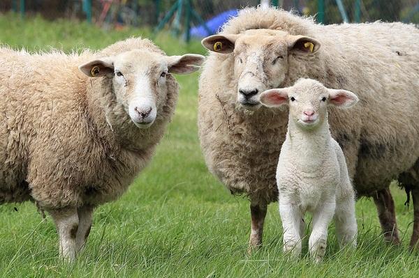 Értékes gyapjút a fehér bárányok adnak