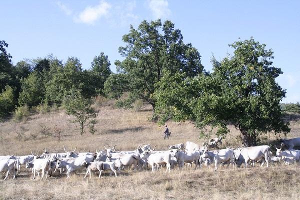 Mostantól a szlovákok is legálisan tenyészthetik a magyar szürkemarhát