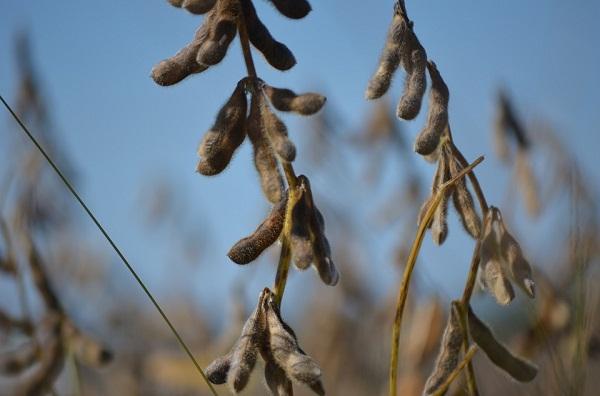 Több tagállam is azt mondja: elég a GMO szójából!