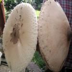 Lelkes gombász zsákmánya a Börzsönyből (Nagy őzlábgomba)