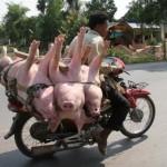 A sertésszállítás új módja