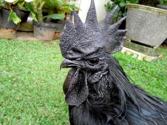 kell fekete kakas szopás videók meleg