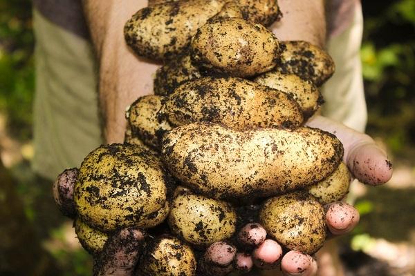Az olcsó, silány, külföldi burgonya megnehezíti a magyar krumpli helyzetét