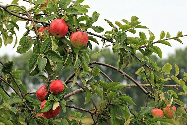 Határozat hiányában is teljesíteni kell a vállalásokat, például ki kell helyezni a feromoncsapdákat is a gyümölcsösökbe