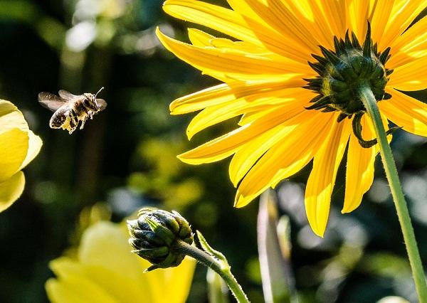 Ahol van elég alternatív táplálékuk a méheknek, ott nem okoznak gondot a neonikotinoid szerek