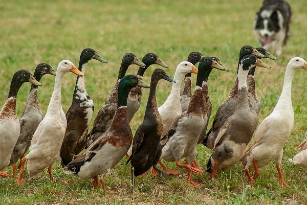 A madárinfluenza okozta terméskiesés után már csúcsra járattak több magyar baromfihús előállító gyárat is