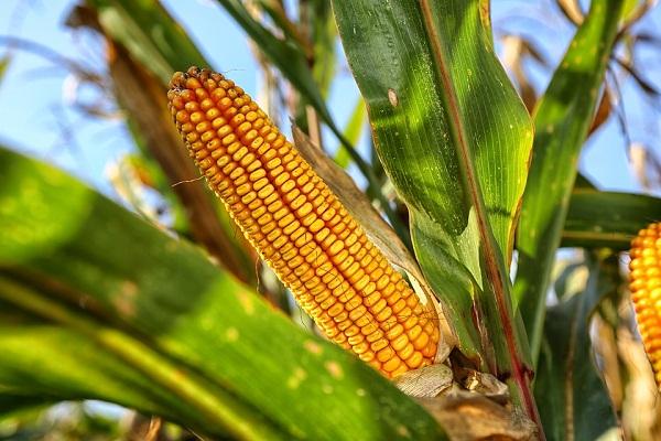 Idén jóval kevesebb kukorica teremhet, mint tavaly