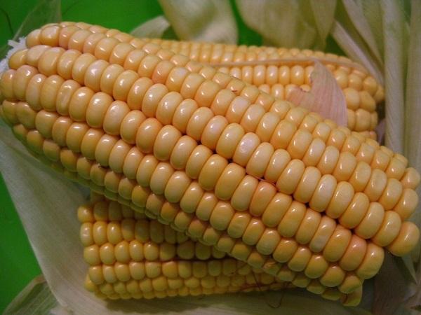 Idén megerősítik pozíciójukat a külföldi piacokon a magyar csemegekukorica termesztő gazdálkodók