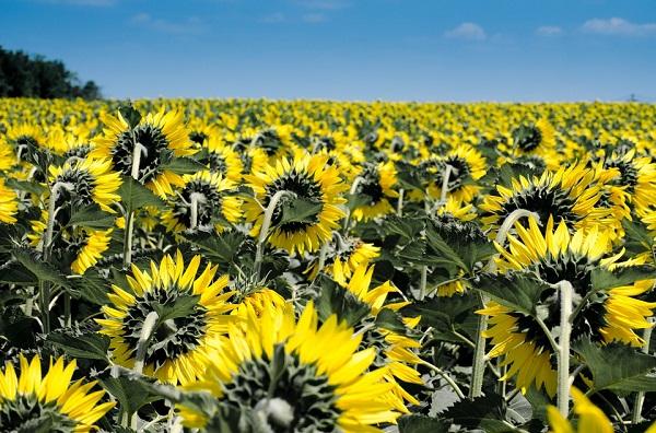 Csak a fiatal napraforgó forog a Nap felé, a virágzó növények már 'leállnak' a forgással