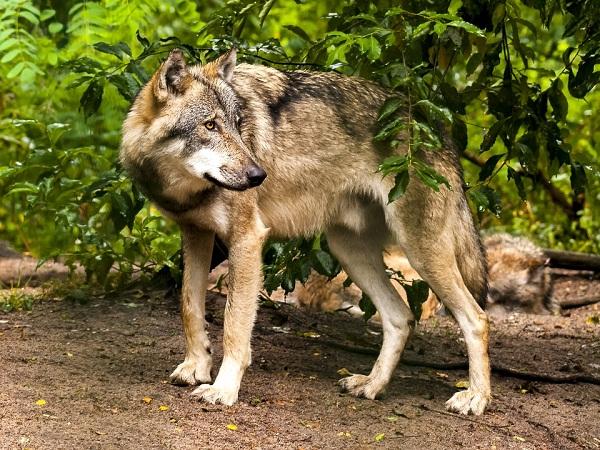 A farkas távolról szelídnek tűnhet, mégis komoly veszélyt jelent háziállatainkra