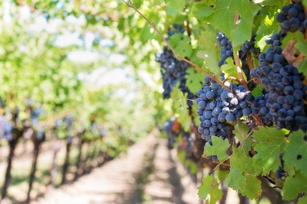 Nagy siker lehet a borászrobot a szőlőben