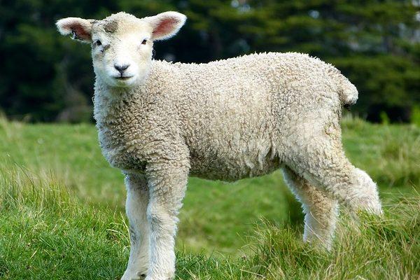 A kölcsönös megfeleltetés előírásai és követelményei: A juh és a kecske