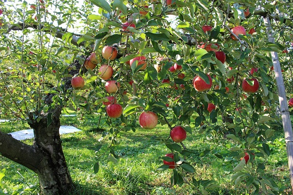 Komoly veszélyben a magyar almatermesztés