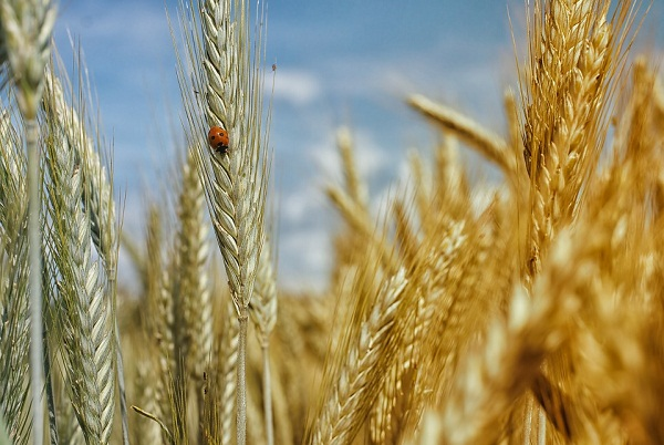A csökkenő gabonaárak a csőd szélére sodorhatják a francia gazdák egy részét