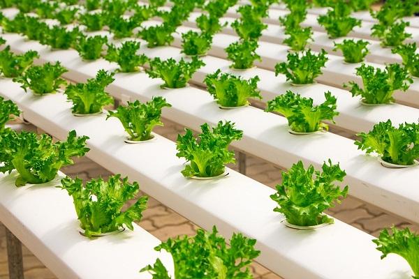 Óriási üvegházakban termesztik a zöldséget az USA-ban