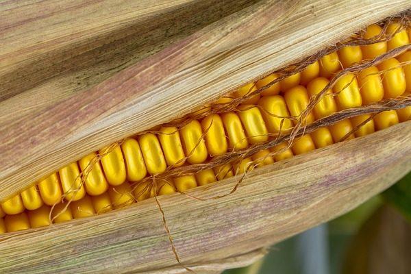 Itthon a várható kukoricatermés lényegesen kevesebb lesz a tavalyihoz képest