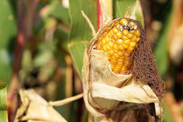 Jó a zalai gabona, de inkább betárolják a gazdák