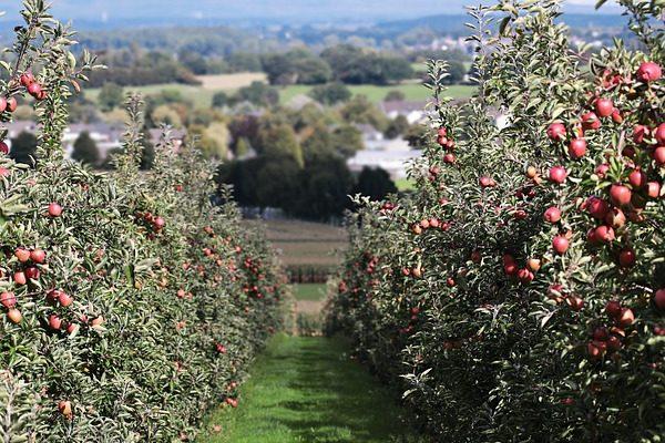 Legolcsóbb a lengyel alma, hirdetik a magyart Kép: Pixabay, Silvia & Frank