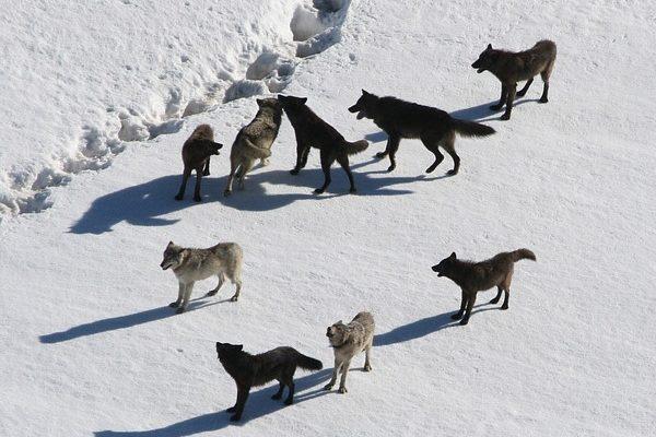Nagy károkat okoz a francia juhászoknak a farkastámadás