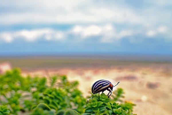 Védekezzen megfelelően a burgonyabogár ellen - Fotó: Pixabay, Georg Wietschorke