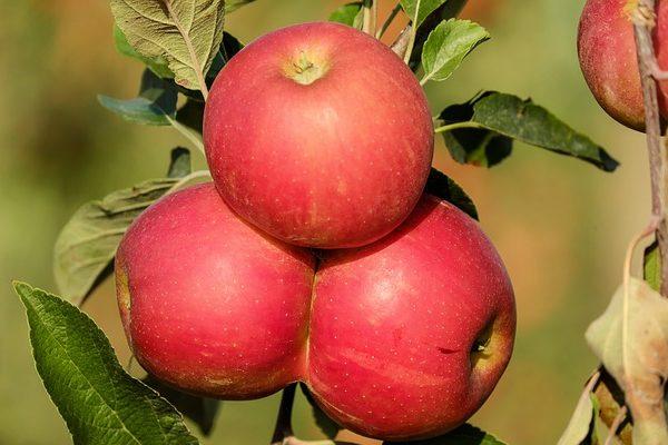 Vegye fel a küzdelmet az almamoly ellen! - Fotó: Pixabay, Couleur