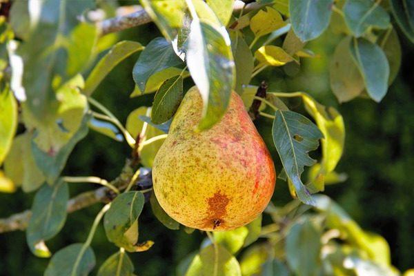 Nagy veszélyt okoz a gyümölcsben a körtelevélbolha - Fotó: Pixabay, holiho