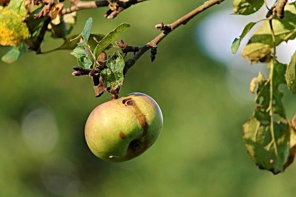 A lombosfa fehérmoly komoly károkat okozhat az almásban - Fotó: Pixabay, Manfred Richter