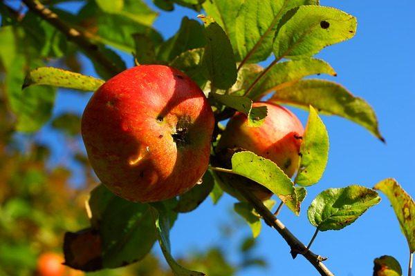 Az almafa betegségei sokszor felütik fejüket - Fotó: Pixabay, Karsten Paulick