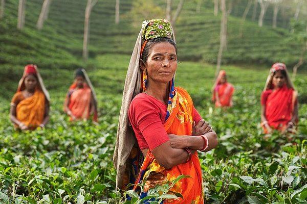 A teaszedők munkáját is elvehetik a robotok a mezőgazdaságban - Fotó: Pixabay, Free-Photos
