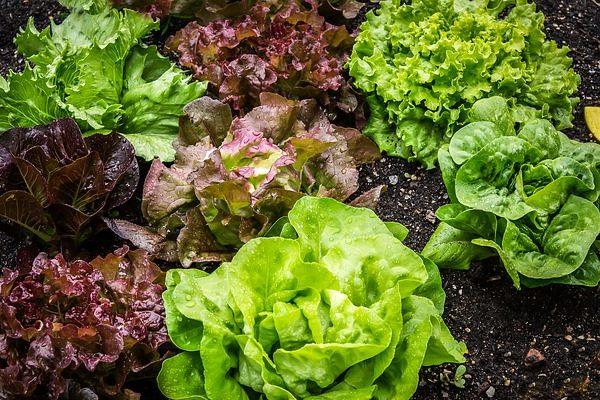 A saláta növényvédelme szép termést eredményez - Fotó: Pixabay, maxmann