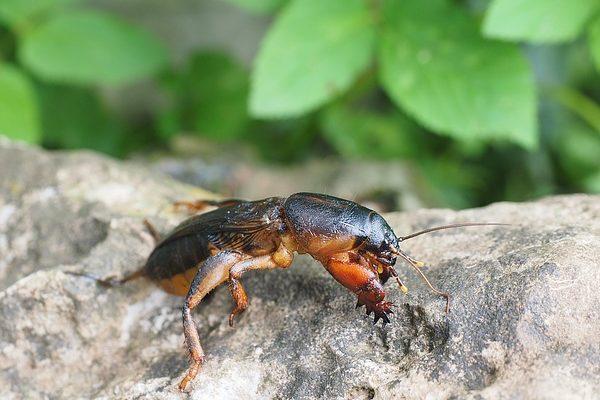 Uborka szalagféreg szövődmények Giardia u psow, Rovar paraziták az uborkán