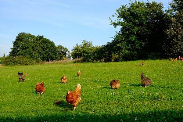 A magyarok egyik kedvence a csirkehús, de nem akkor, ha világít a sötétben. Fotó - Pixabay, Holger Schué