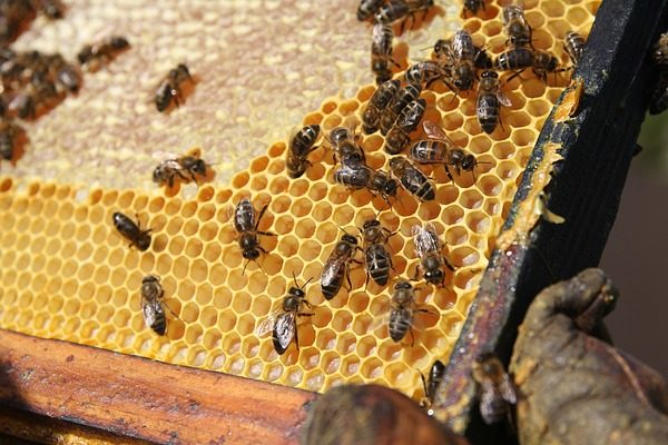 A varroa atka ellen nagyon fontos a védekezés - erre nyújthat végre megoldást a kísérletsorozat - Fotó: Pixabay, Propolia