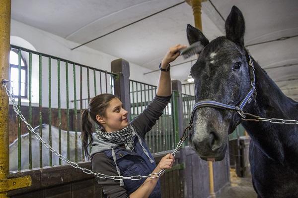 Ló sörényét fésülik az istállóban a mezõhegyesi Nemzeti Ménesbirtok és Tangazdaság Zrt.-ben. MTI Fotó: Rosta Tibor