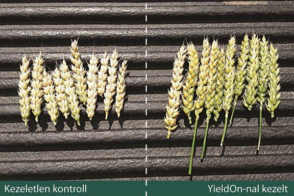 A szántóföldi biostimulátor látványos javulást eredményez a hozamban