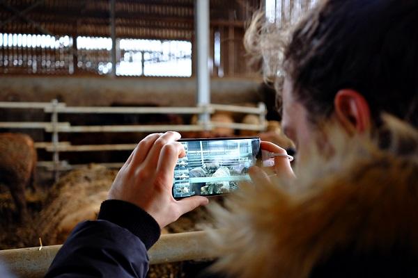 A magyar fejlesztésű Beefie digitális szarvasmarha mérleg működés közben