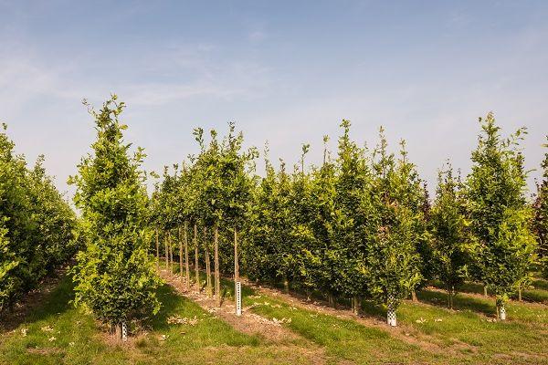 A takarónövényeket a gyümölcsfák sorközébe is érdemes telepíteni