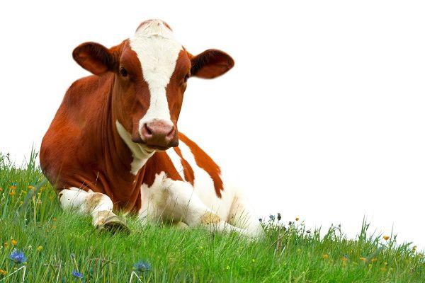 Jobban tejelő szupertehén lehet a Microsoft-milliárdos ötletének eredménye