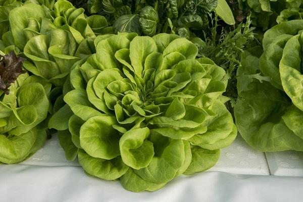 Ezek a gyönyörű saláták is fejlesztési díjat nyertek