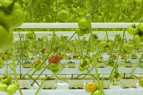 A szabadföldi és üvegházi kertészeti termesztésben egyaránt fontosak az innovációk – fotó: Shutterstock