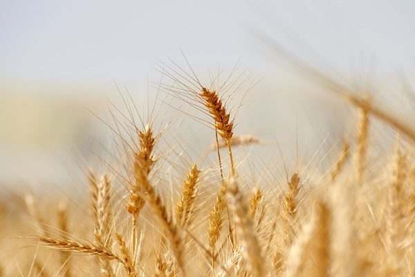 Jócskán visszaesett a gabonatermelés Magyarországon az AKI adatai szerint