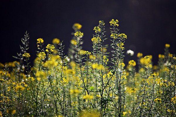 Az ekenélküli gazdálkodáshoz tartozik az olyan takarónövények, mint a mustár használata